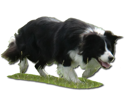 Quickstep-Bordercollies